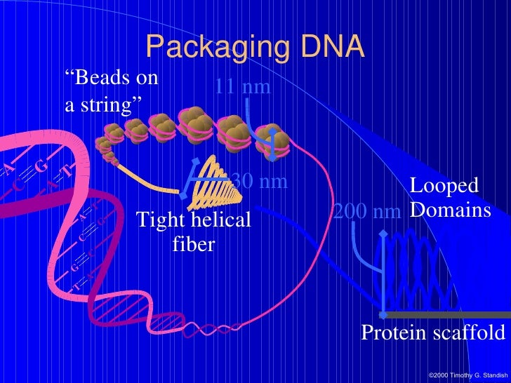 Mitosis and meiosis packaging dna a t t a g c c g c g g c t a a t 26 ccuart Images