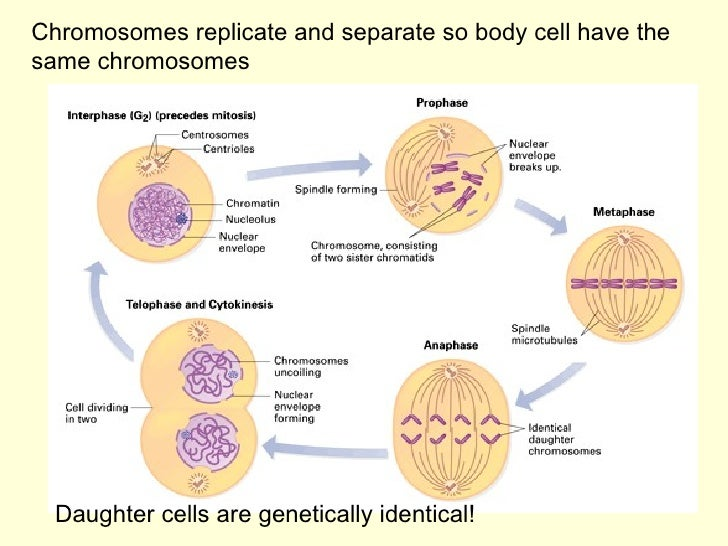 Chromosomes replicate and separate so body cell have the same chromosomes Daughter cells are genetically identical!