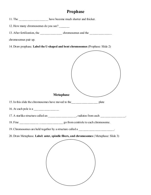 Mitosis activity worksheet – Chromosomes Worksheet