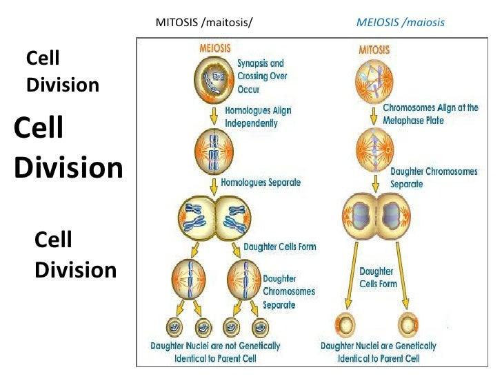 meiosis nuclear division