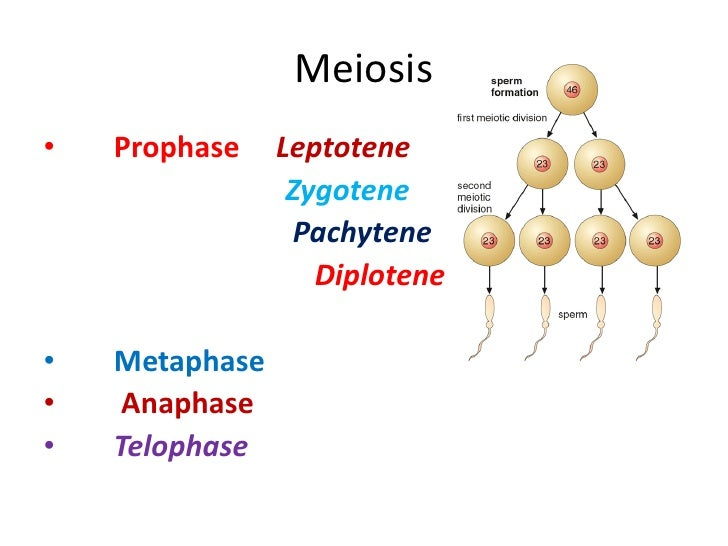significance of first meiotic division