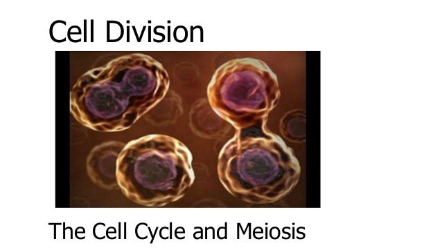 Cell Division The Cell Cycle and Meiosis