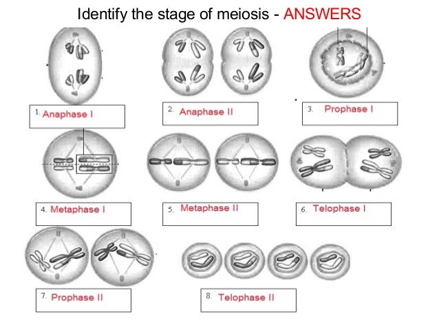 Meiosis diagram quiz best free home design idea for Home design quiz