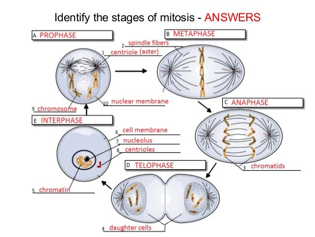 Mitosis And Meiosis 57794534 on Number Of Chromosomes Worksheet Answers