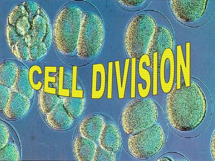 Why Do Cells Need To Divide? It depends on the organism Unicellular organisms like bacteria  (prokaryotes) divide to rep...