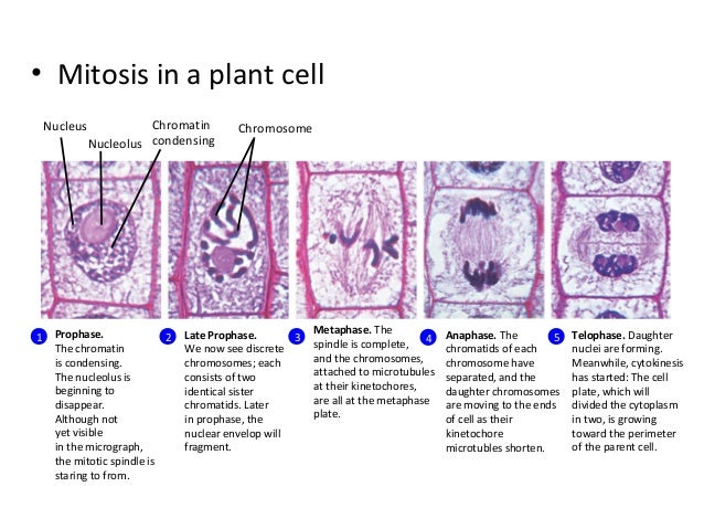 stages of mitosis in plant cells