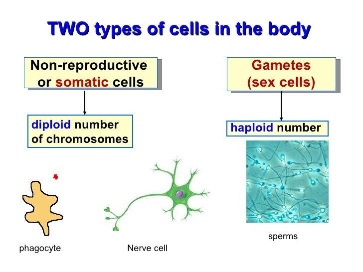 gonadic cells somatic cells sex cells