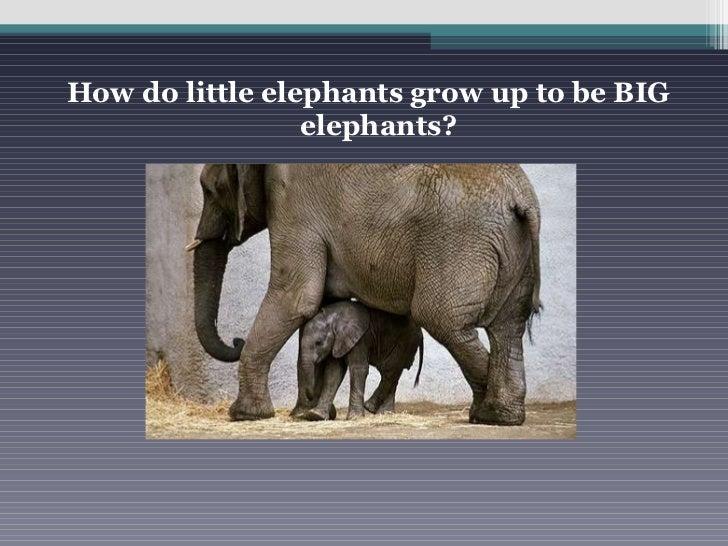 <ul><li>How do little elephants grow up to be BIG elephants? </li></ul>