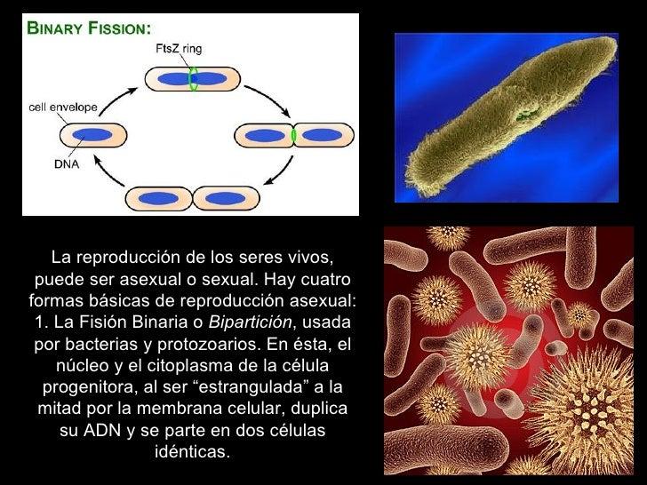 Reproduccion asexual fision celular ejemplos
