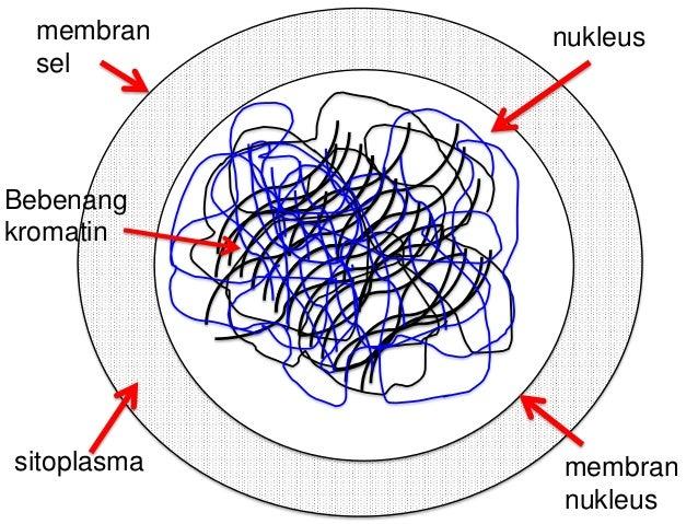 Mitosis sel haiwan ccuart Choice Image