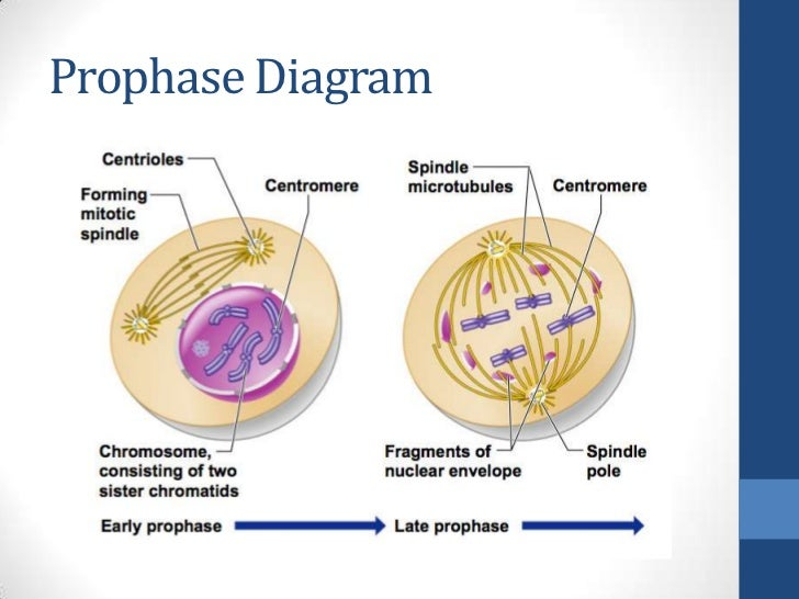 20 Awesome Metaphase Of Mitosis Diagram
