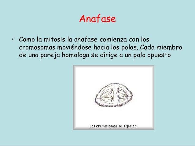 Anafase• Como la mitosis la anafase comienza con los  cromosomas moviéndose hacia los polos. Cada miembro  de una pareja h...