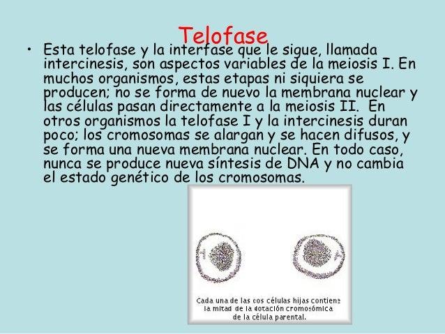 •                         Telofasele sigue, llamada    Esta telofase y la interfase que    intercinesis, son aspectos vari...