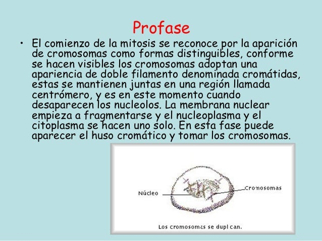 Profase• El comienzo de la mitosis se reconoce por la aparición  de cromosomas como formas distinguibles, conforme  se hac...