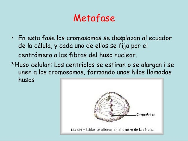 Metafase• En esta fase los cromosomas se desplazan al ecuador  de la célula, y cada uno de ellos se fija por el  centrómer...