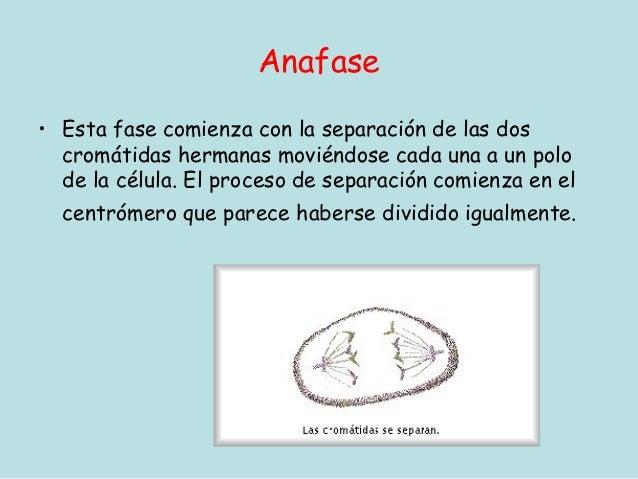 Anafase• Esta fase comienza con la separación de las dos  cromátidas hermanas moviéndose cada una a un polo  de la célula....