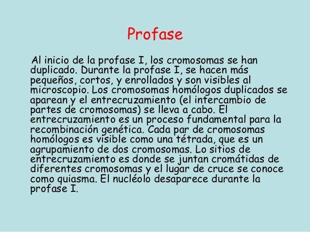 ProfaseAl inicio de la profase I, los cromosomas se handuplicado. Durante la profase I, se hacen máspequeños, cortos, y en...