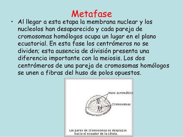Metafase• Al llegar a esta etapa la membrana nuclear y los  nucleolos han desaparecido y cada pareja de  cromosomas homólo...