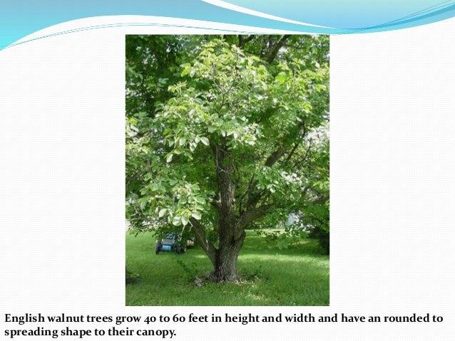 walnut production technology