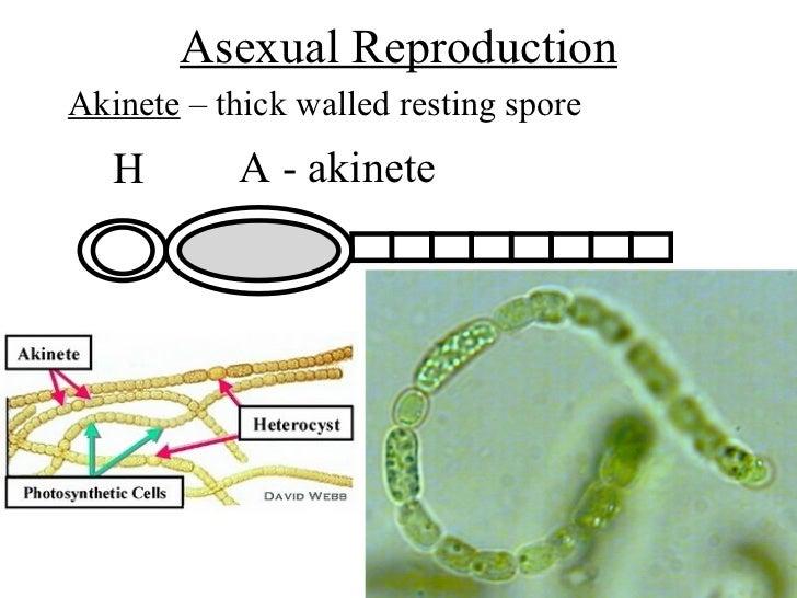 Mks cyanobacteria  Mks cyanobacter...