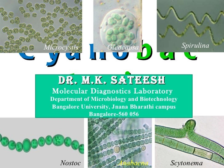 Cyano bacteria Dr. M.K. SATEESH  Molecular Diagnostics Laboratory  Department of Microbiology and Biotechnology Bangalore ...
