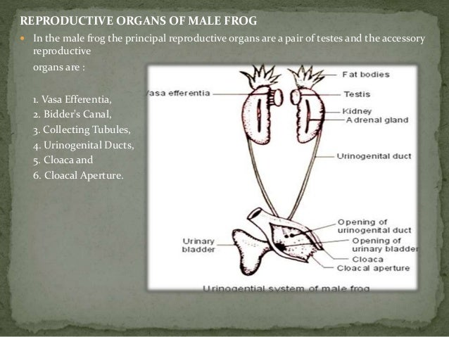 Reproductive system of frog 3 male reproductive organs ccuart Gallery