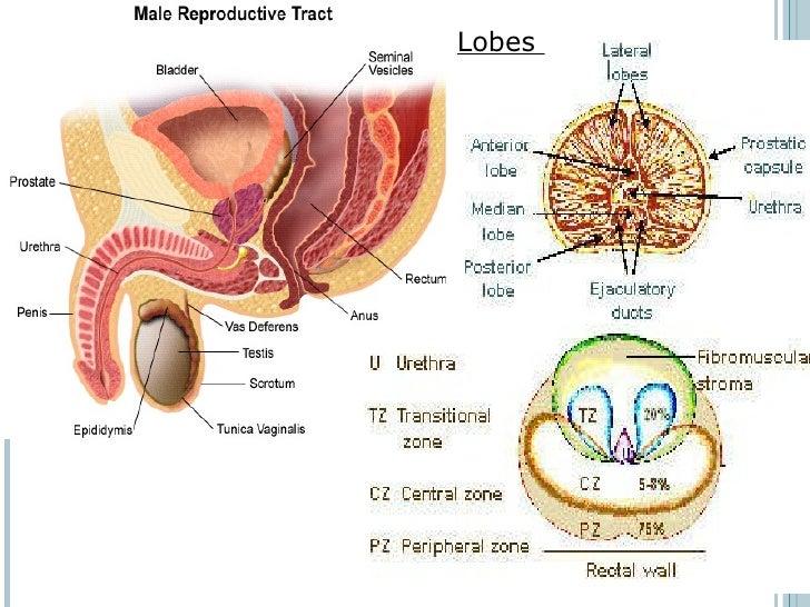 Prostate Anatomy Lobes