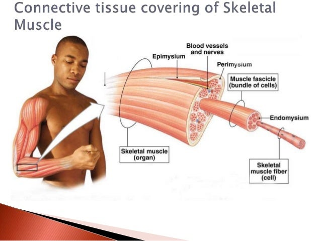 General Principles Of Skeletal Muscle