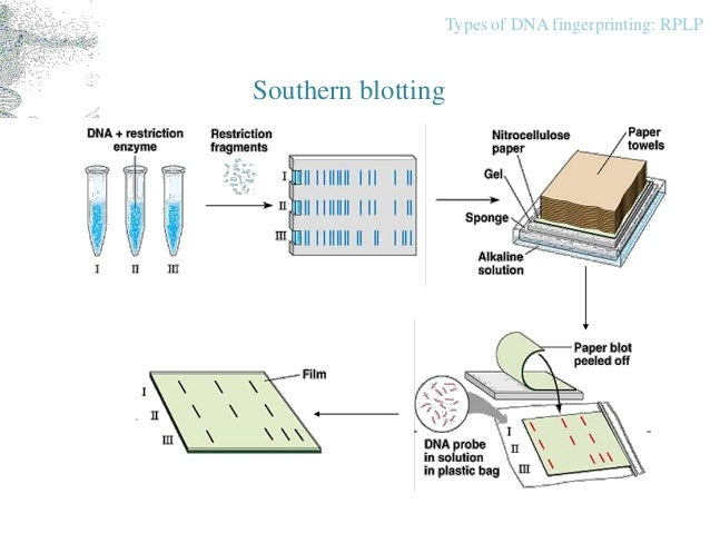 mandatory dna fingerprinting The use and potential abuse of dna analysis in immigration policy  the use and potential abuse of dna analysis in immigration policy   dna fingerprinting.