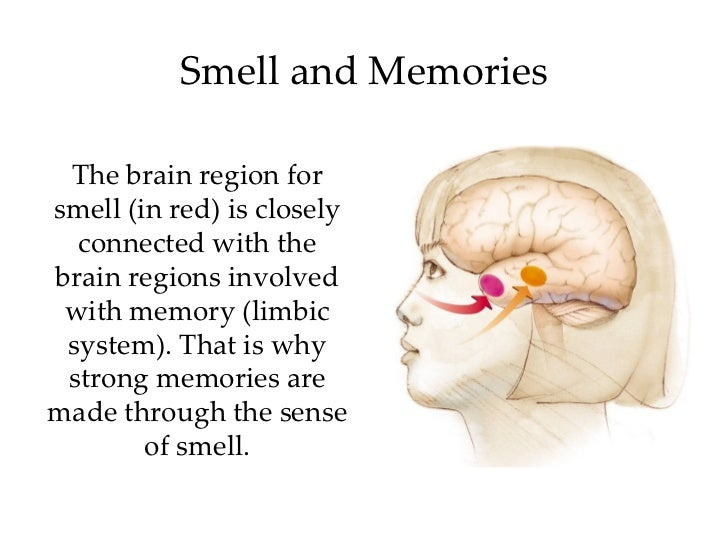 Smell and Memories The brain region forsmell (in red) is closely connected with thebrain regions involved with memory (li...