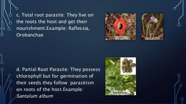 c. Total root parasite: They live on  the roots the host and get their  nourishment.Example: Raflessia,  Orobanchae  d. Pa...