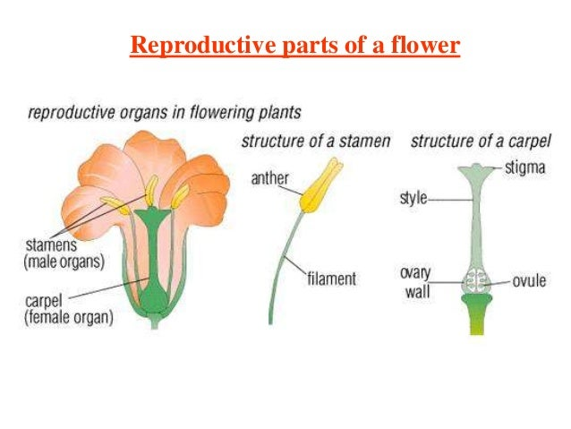 Diagram Of The Reproductive Parts Of A Flowering Plant Electrical