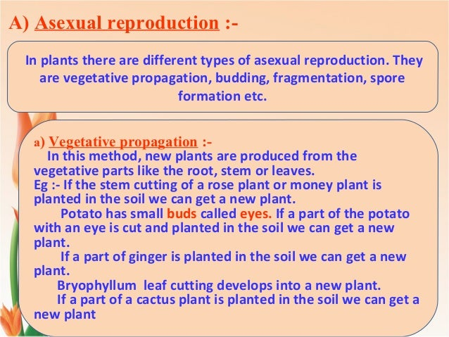 Papaye asexual reproduction