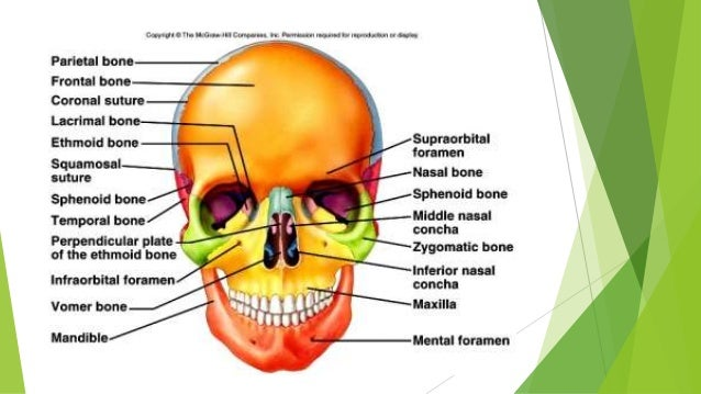 Anatomy(2) The skull and face The temporal region Infratemporal and p…