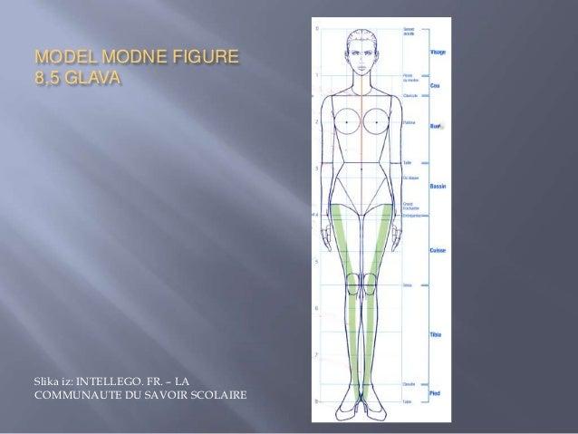    Širine delova tela takođe se izraţavaju u glavama.   Širina glave je pribliţno 2/3 njene duţine.   Širina i duţina v...
