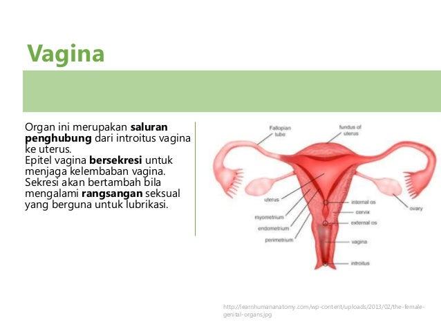 Is the vagina an organ