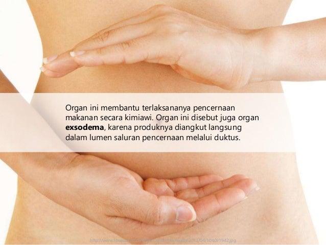 Organ ini membantu terlaksananya pencernaan makanan secara kimiawi. Organ ini disebut juga organ exsodema, karena produkny...
