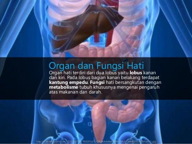 Organ hati terdiri dari dua lobus yaitu lobus kanan dan kiri. Pada lobus bagian kanan belakang terdapat kantung empedu. Fu...