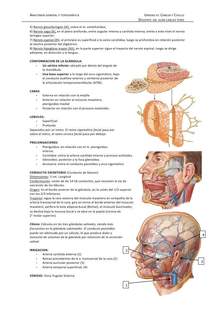 Lujoso Anatomía Bajo La Barbilla Adorno - Imágenes de Anatomía ...