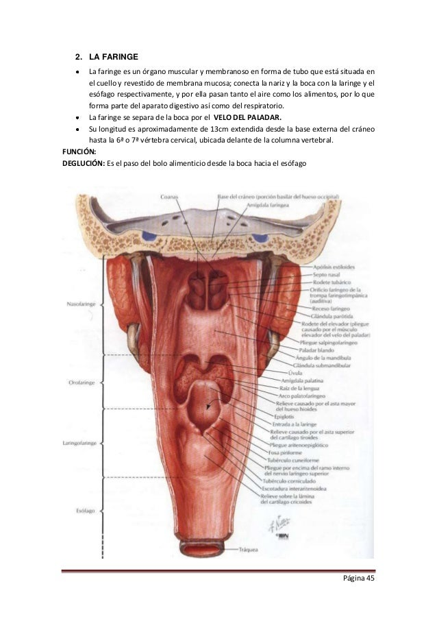 Contemporáneo Anatomía De La Garganta Humana Colección - Anatomía de ...