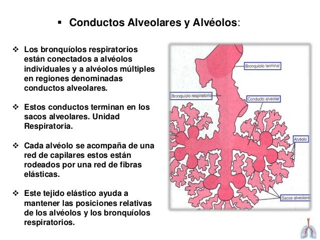 ANATOMIA DE LAS VIAS RESPIRATORIAS INFERIORES