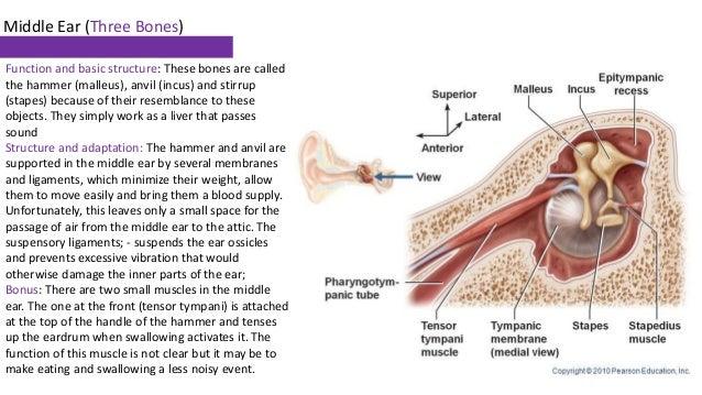 5  middle ear