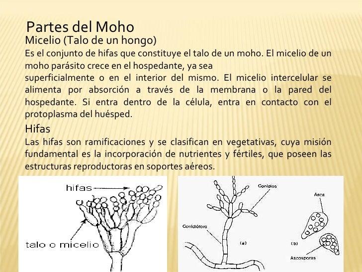 Mohos levaduras y bacterias - El moho es un hongo ...