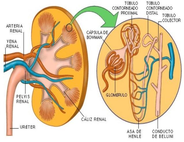Krvni sudovi bubrega Protok krvi kroz oba bubrega iznosi oko 21% minutnog volumena srca ili 1200ml/min. Krv dolazi u ove o...