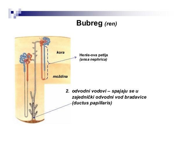 Vene bubrega uglavnom prate odgovarajuće arterije i imaju iste nazive. Kapilari bubrežne kapsule i spoljašnjeg dela kore s...