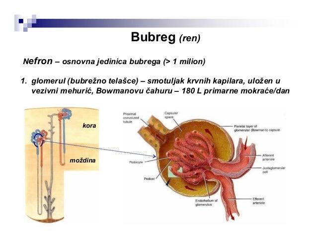 Mokraćovod (ureter) ♂♀ sprijeda lateralno • parna cev dužine 25-30 cm, Ø ~7 mm • spaja bubreg i mokraćnu bešiku • smešten ...