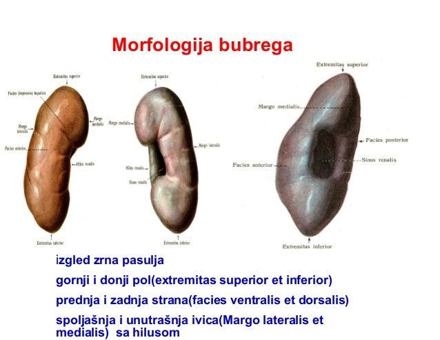 Morfologija bubrega izgled zrna pasulja gornji i donji pol(extremitas superior et inferior) prednja i zadnja strana(facies...