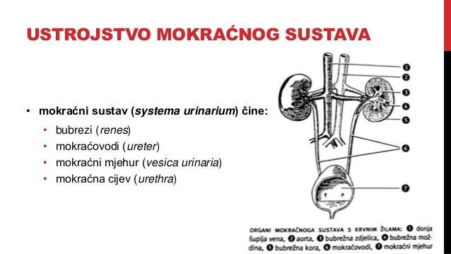 Mokraćni sustav Slide 2