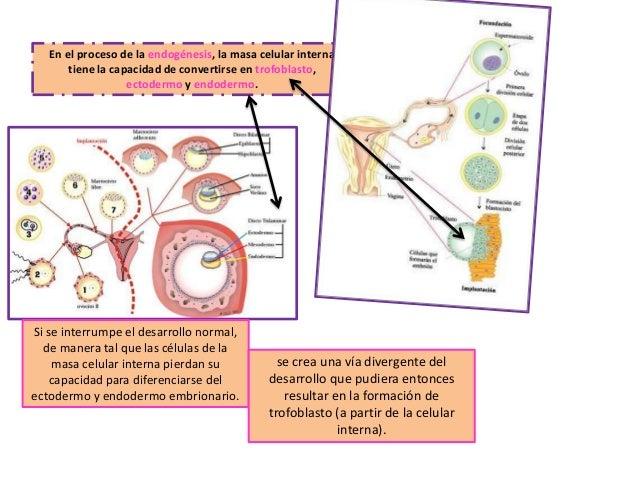 En el proceso de la endogénesis, la masa celular interna tiene la capacidad de convertirse en trofoblasto, ectodermo y end...
