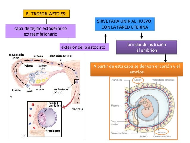 exterior del blastocisto EL TROFOBLASTO ES: capa de tejido ectodérmico extraembrionario SIRVE PARA UNIR AL HUEVO CON LA PA...